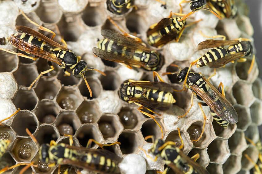 servicii ddd viespi